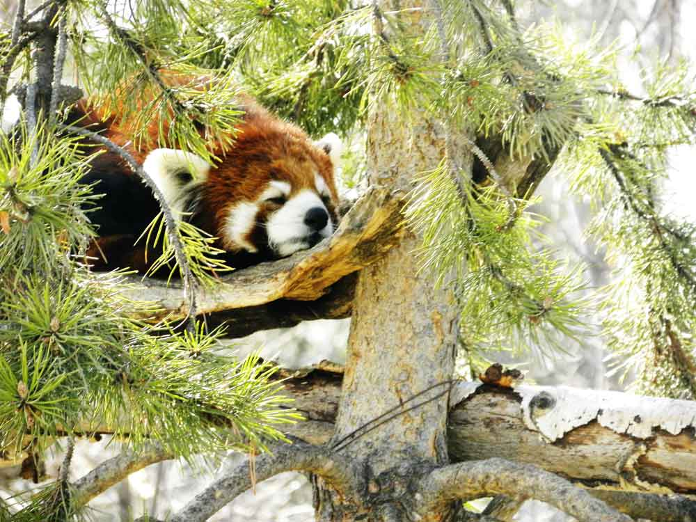 Image of Red Panda for Purchase