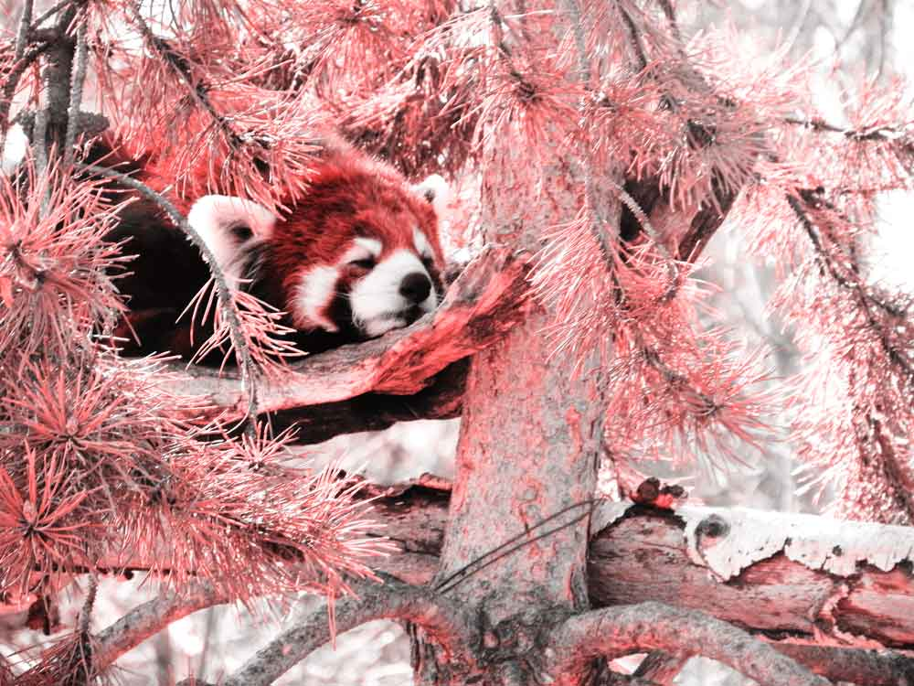 Image of Red Panda with Red Style for Purchase