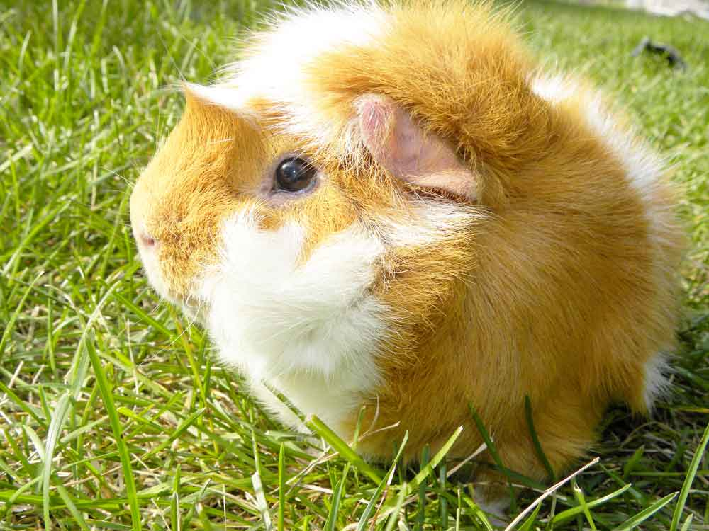 Image of Bif the Guinea Pig in Sun Daze for Purchase