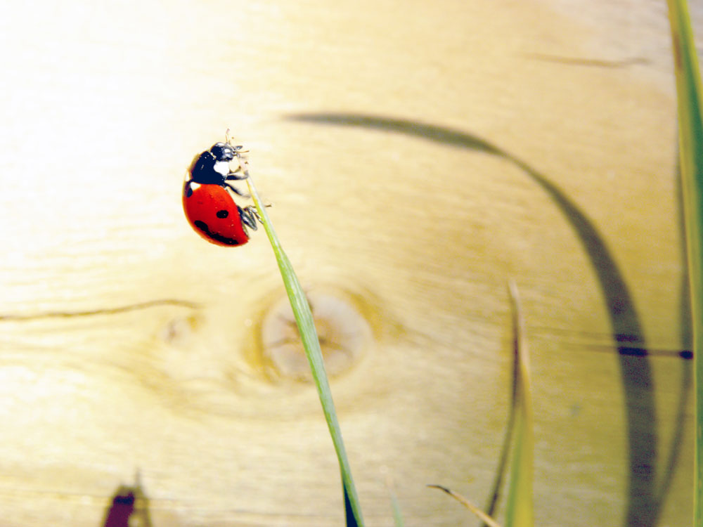 Image of Single Lady Bug for Purchase