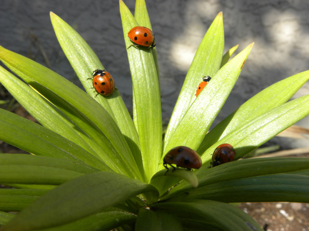 Image of Plant Lady Bugs for Purchase