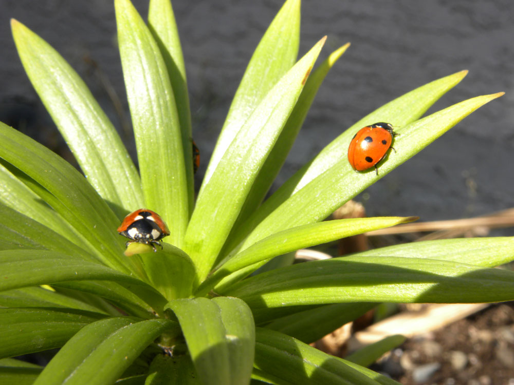 Image of Lady Bug Branch for Purchase